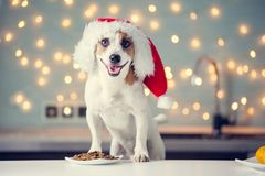 Dog in christmas hat eating food stock photography