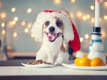Dog in christmas hat eating food. Happy pet santa royalty free stock image