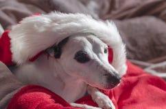 Dog of Christmas Stock Images