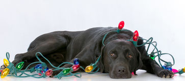dog with christmas lights royalty free stock images