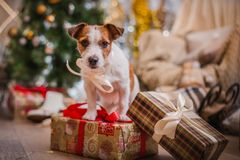 Free Dog Christmas, New Year, Jack Russell Terrier Royalty Free Stock Images - 46312849