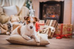 Free Dog Christmas, New Year, Jack Russell Terrier Stock Photo - 46312870