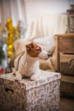 Dog christmas, new year, Jack Russell Terrier Royalty Free Stock Photography