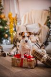 Dog christmas, new year, Jack Russell Terrier Royalty Free Stock Image