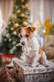 Dog christmas, new year, Jack Russell Terrier Stock Image