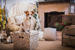 Dog christmas, new year, Jack Russell Terrier Stock Images