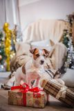 Dog christmas, new year, Jack Russell Terrier Stock Photo