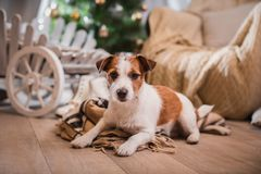 Dog christmas, new year, Jack Russell Terrier Royalty Free Stock Photos