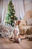 Dog christmas, new year, Jack Russell Terrier Stock Photos