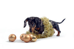 Dog with christmas ornaments. Dog sniffing christmas ornaments Stock Photo