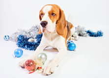 Dog and  Christmas ornaments Royalty Free Stock Photo