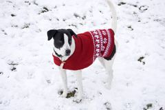 Dog with a Christmas pullover stock images