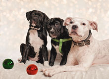 Dog Christmas. Dog and puppies posing for Christmas photo Royalty Free Stock Images