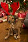 Dog At Christmas Stock Photos