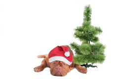 Dog and Christmas tree Stock Photo