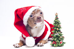 dog with christmas tree Royalty Free Stock Photography