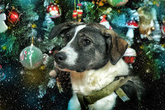 Dog in Christmas Royalty Free Stock Photo