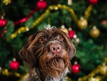 Dog and Christmas tree Stock Photography