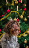 Dog and Christmas tree Stock Images