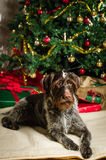 Dog and Christmas tree Stock Image