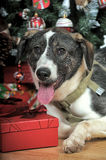 Dog in Christmas Stock Image