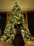 Dog with Christmas Tree royalty free stock image