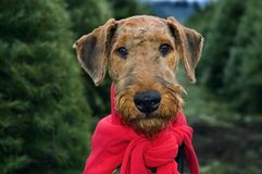 Dog in Christmas trees. A close up of an airedale terrier posing in a field of Christmas trees stock image