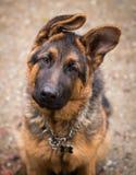 Dog `Ciobanesc German` stock photo