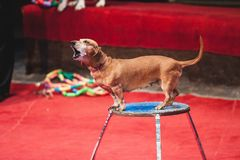 Red dachshund sits on circus night table. Dog in the circus. A brown dachshund sits on a curbstone in the circus arena Stock Images