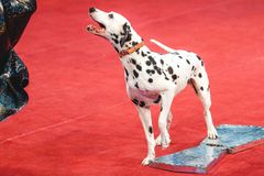 Cheerful Dalmatian on red circus arena Royalty Free Stock Photos