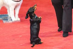 Black dachshund dog stands on hind legs in circus arena. Dog in the circus. A pretty black dachshund stands on its hind legs on the red carpet of the circus Stock Photos