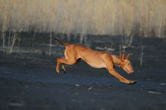 The dog is trotting. The dog cirneco is flies over the ground Stock Photos