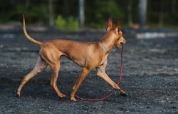 The dog is trotting. The dog cirneco is trotting with ball Royalty Free Stock Image
