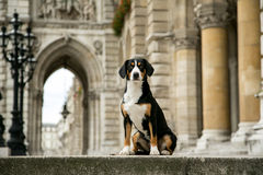 A dog in the city. Urban portrait of a dog. Entlebuher dog sitting on the steps of City Hall. a dog in the city. Dog in urban landscape. Urban portrait of a dog Stock Photo