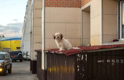 Dog in city went out of the window to get some air. Royalty Free Stock Photography
