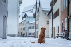 Dog in the city in winter. Travel with a pet. Nova Scotia Duck Tolling Retriever. Toller stock photography