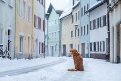 Dog in the city in winter. Travel with a pet. Nova Scotia Duck Tolling Retriever. Toller stock photo