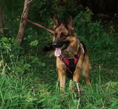 Dog. In the classroom for protection, protective guard duty, IPO Stock Image