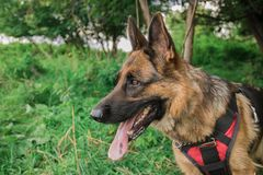 Dog. In the classroom for protection, protective guard duty, IPO Royalty Free Stock Image