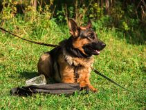 Dog. In the classroom for protection, protective guard duty, IPO Royalty Free Stock Photos