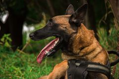 Dog. In the classroom for protection, protective guard duty, IPO Stock Images
