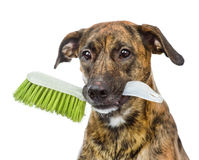 Dog with cleaning  brush isolated on white background Stock Images