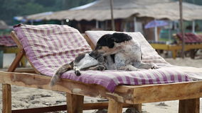 Dog cleaning himself on a deck chair at a sandy beach. stock video footage