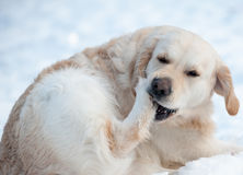 Dog cleaning snow from paws Royalty Free Stock Photo