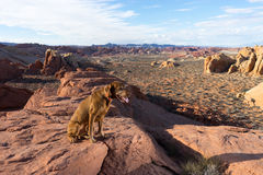 Dog on cliff edge in valley of fire nevada stock images