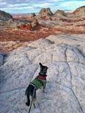 Dog on the cliff. White Pocket, Arizona Royalty Free Stock Images