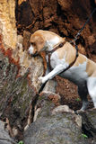 Dog climbing up the fallen oak Stock Image