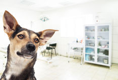 A dog in a clinic Royalty Free Stock Image
