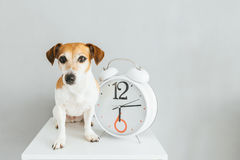 Dog and clock. Gray background. About time theme Royalty Free Stock Photos