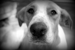 Hunting dog close up (black and white). Close-up of a hunting dog with begging eyes (black and white Stock Photo